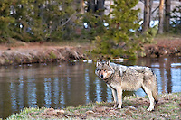 Grey Yellowstone Wolf, Gibbon River, Yellowstone National Park, Wyoming