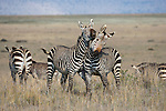 Cape mountain zebra (Equus zebra zebra), wrestling, Mountain Zebra National Park, Eastern Cape, South Africa, September 2015