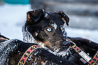 A Jodi Bailey dog is attentive in the morning at the Kaltag checkpoint on Sunday March 13th during the 2016 Iditarod.  Alaska    <br /> <br /> Photo by Jeff Schultz (C) 2016  ALL RIGHTS RESERVED