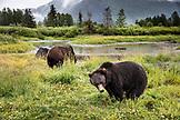 USA, Alaska, Girdwood, brown grizzley bears roaming inside of Alaska Wildlife Conservation Center