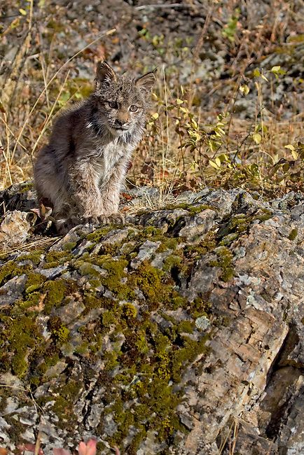 A threatened Canada lynx cub standing on some rocks, Montana, North America