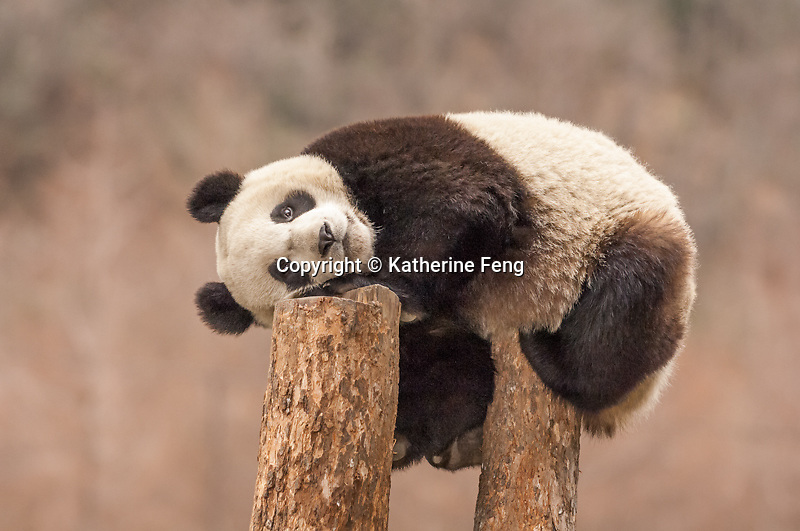 Sub-adulat Giant Panda resting on two tree stumps.     (Ailuropoda melanoleuca) China Conservation and Research Center for the Giant Panda,  Wolong Nature Reserve
