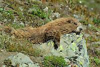 Olympic Marmot (Marmota olympus) resting.  Olympic National Park, WA.  Summer.