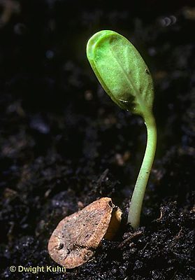 MK24-005b  Milkweed -  seed germination, seedling, seed coat - Asclepias syriaca