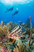 Nassau grouper, Epinephelus striatus, endangered species, and scuba diver, coral reef, Gardens of the Queen, Jardines de la Reina, Jardines de la Reina National Park, Cuba, Caribbean Sea, Atlantic Ocean