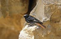 Hausrotschwanz, Männchen am Eingang zur natürlichen Bruthöhle in Felswand, Haus-Rotschwanz, Rotschwanz, Hausrotschwänzchen, Rotschwänzchen, Phoenicurus ochruros, black redstart