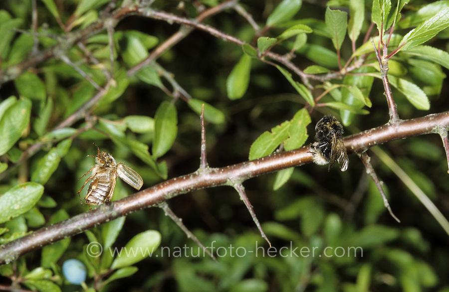 Neuntöter, Fraßspur, Rotrückenwürger, Würger, hat einen Käfer und eine Hummel erbeutet und auf Dorne aufgespießt, Lanius collurio, red-backed shrike, Nahrungsvorrat
