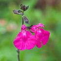 Salvia x jamensis 'Maraschino', early July.