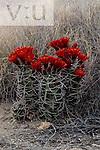 Claret Cup Hedgehog (Echinocereus triglochidiatus) White Sands National Monument, New Mexico