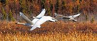 A family of trumpeter swans takes off from Potter Marsh, in Anchorage, Alaska.