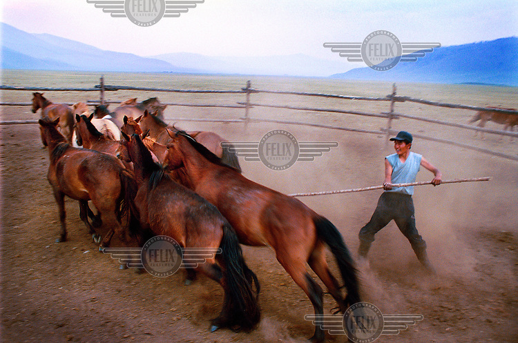 Farmer trying to catch his best horse for the races at the annual Nadaam festival, Mongolia's most important cultural event. The main elements of the festival are the tests of courage, strength and daring through the three 'manly' sports of wrestling, archery and horse racing.