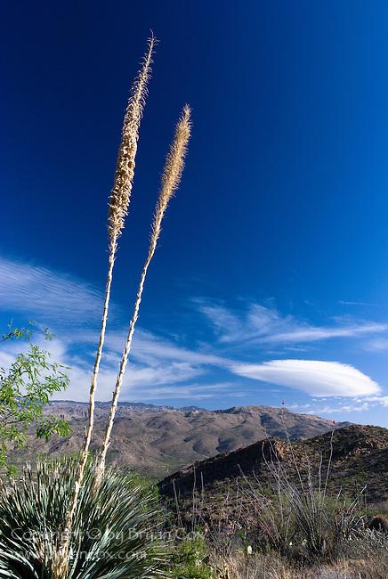 Yucca, Saguaro National Park