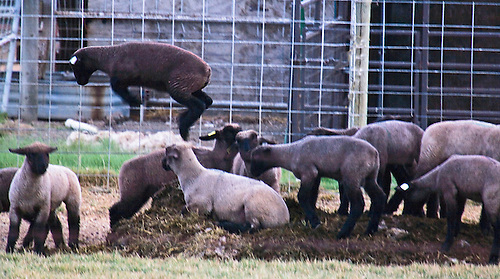 AS A SMALL HERD OF SHEEP GATHER AROUND SOME FEED, A SINGLE SHEEP IS FORCED OUT.