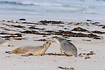 Australian Sea-lions (Neophoca cinerea), two interacting, Seal Bay, Kangaroo Island, Australia.