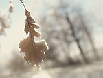 Ice covered frozen oak leaf on a tree in rain on a sunny autumn day. Abstract nature closeup scenery.