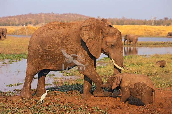 African Elephant Cow and Calf mud bathing.  Africa.  (Loxodonta africana)