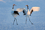 Japanese Cranes (Grus japonensis), Hokkaido, Japan<br />