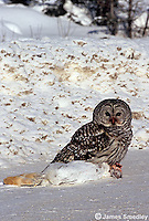 Great grey owl catching a snowshoe hare