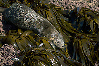 Marine otter Lontra felina ENDANGERED, Chiloe Island, Chile, Pacific Ocean