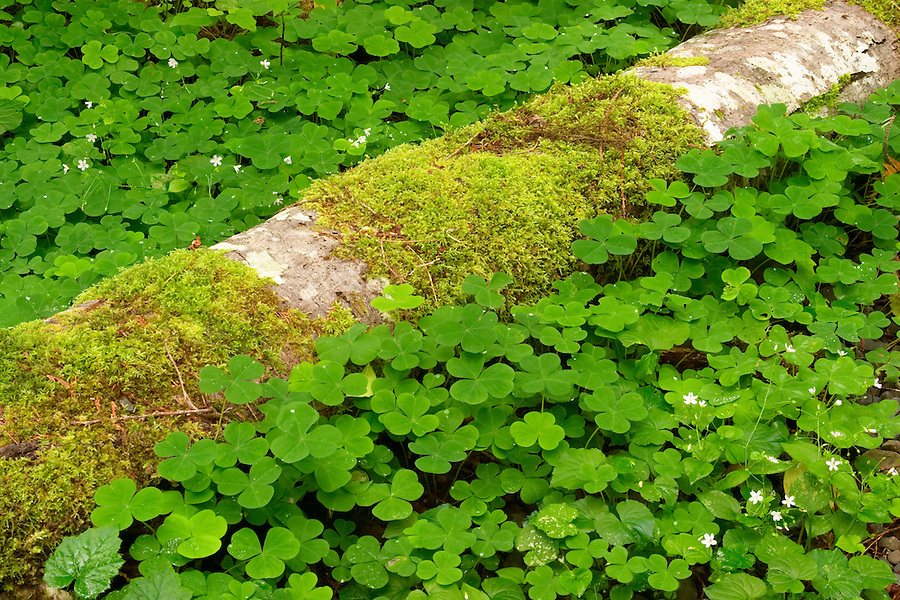 Green ground cover and down log, Maple Glade Rain Forest Trail, Quinault Rain Forest, Olympic National Park, Olympic Peninsula, Grays Harbor County, Washington, USA