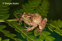 FR16-517z  Spring Peeper on fern leaves, Hyla crucifer or Pseudacris crucifer