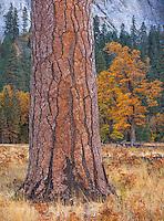 Yosemite National Park, CA: Ponderosa pine trunks (Pinus ponderosa) and black oaks (Quercus kelloggii)  with fall color in El Capitan Meadow, Yosemite Valley