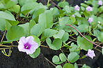 Taveuni, Fiji; Beach Morning Glory (Ipomoea pes-caprae) flowers growing on black lava rock