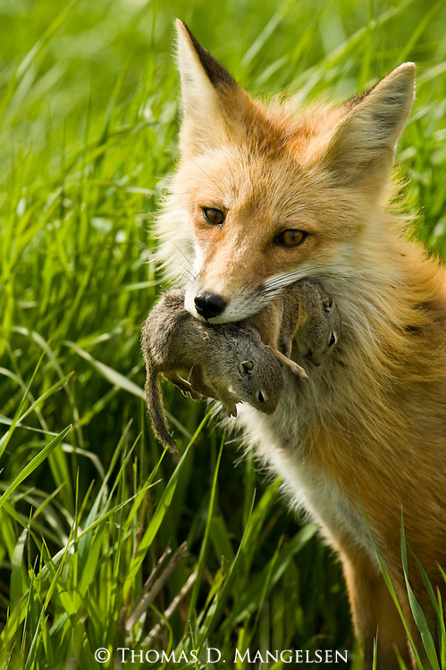 Portrait of a mother red fox sitting in a Wyoming meadow with ground squirrels in her mouth.