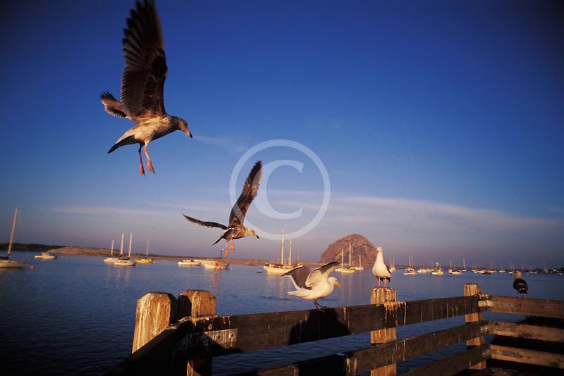 California, San Luis Obispo County, Seagulls, Morro Bay