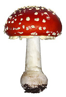 Fly Agaric - Amanita muscaria