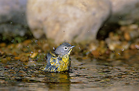 592150016 a wild adult nashville warbler vermivora rufipilla bathing in a small pond on south padre islands of the texas coast