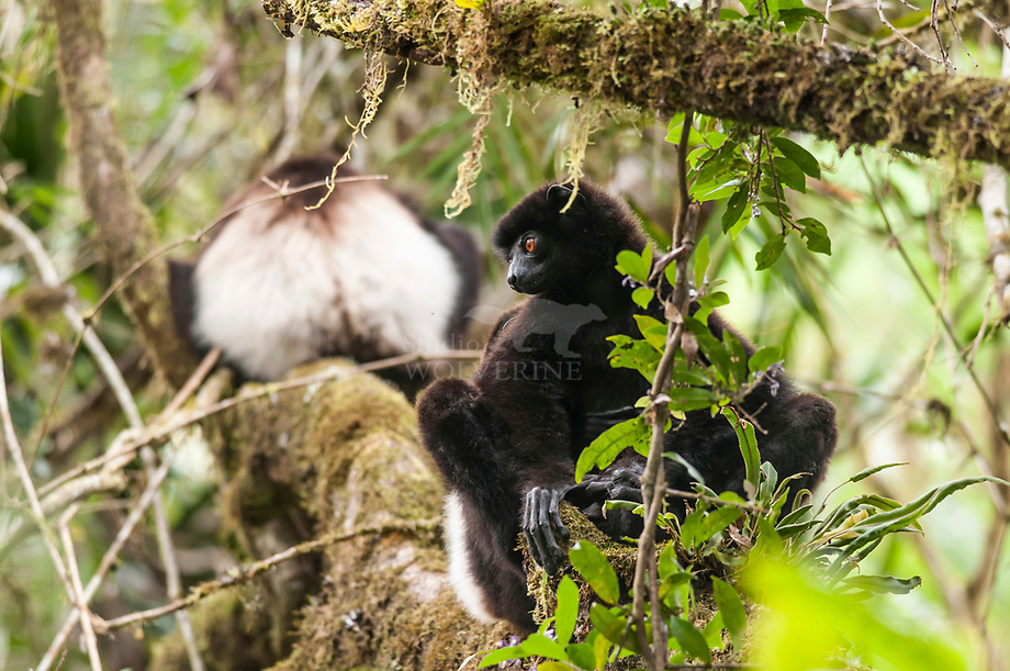 Milne Edwards«s Sifaka (Propithecus edwards)