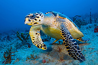 Hawksbill Sea Turtle (Eretmochelys imbricata) in Palm Beach County, Florida, USA, Atlantic Ocean Known as the underwater landscaper, the hawksbill keeps coral reefs heathly by eating fast-growing sponges.