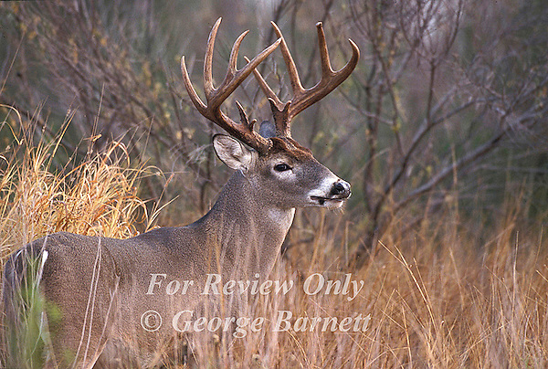 Image Previously Published. Contact George Barnett Photography for Details. Whitetail Monarchs 2001 Calendar Cover
