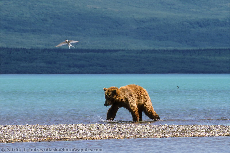Brown bear in Katmai National Park being divebombed by an Arctic Tern