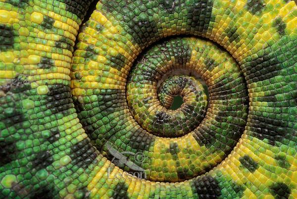 Meller's Chameleon. Tail detail..Native to Tanzania. Captive..Chamaeleo Triceros melleri.