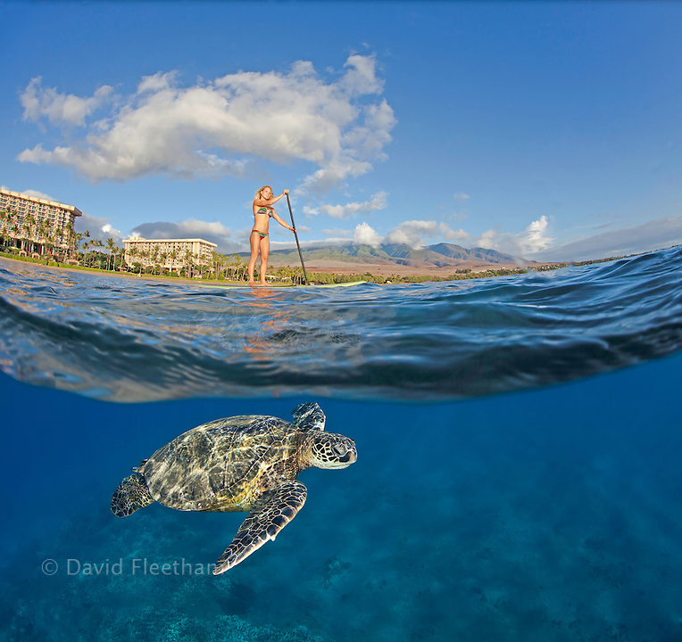 A green sea turtle, Chelonia mydas, glides below surf instructor Tara Angioletti on a stand-up paddle board off Canoe Bearch, Maui. Hawaii.  This photograph is model released.