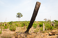 A burnt out tree in the Phnom Tnout Phnom Pok Wildlife Sanctuary, in northern Cambodia. Clearance of forests for agriculture is one of the biggest threat facing Cambodia's last remaining forests.