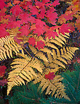 Wenatchee National Forest, WA<br /> Fall color of vine maple (Acer cirinatum) and bracken ferns (Pteridium aquilinium) in the Alpine Lakes Wilderness area