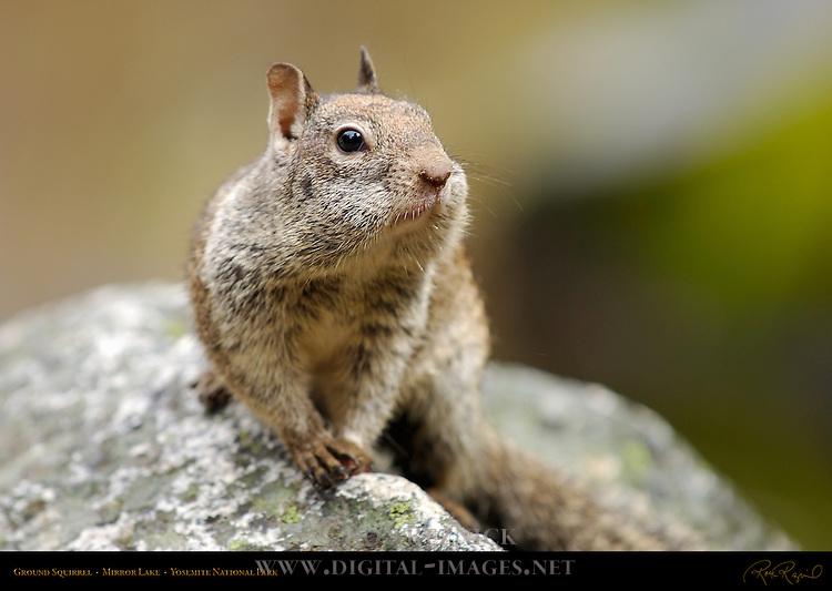 California Ground Squirrel with Full Cheeks, Otospermophilus beecheyi, Mirror Lake, Yosemite National Park