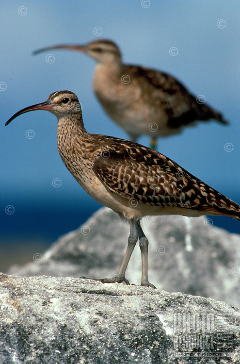 Bristle-thighed curlews, Laysan I.