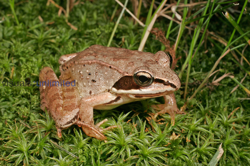 Wood Frog (Rana sylvatica), Eastern and Northern North America
