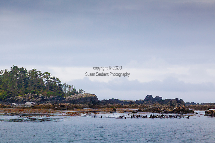 Sea Lions hauled out onto rocks and keeping warm in the water as seen from the water taxi on the way to Eagle Nook Resort, Ucluelet, British Columbia