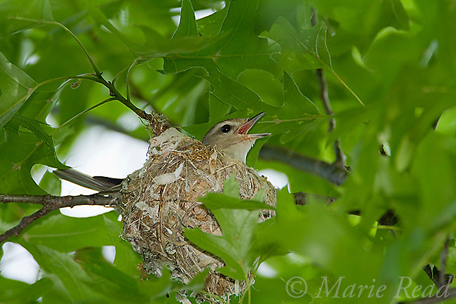 Warbling Vireo (Vireo gilvus) male singing while incubating on its nest, Ithaca, New York, USA.