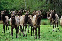 Roosevelt Elk herd (mostly cows).  Pacific Northwest.  Spring.