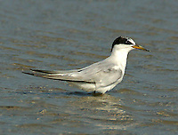 Adult least tern in non-breeding plumage