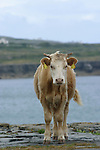 génisse  sur l'île d'Insihmore.Calf on the Inishmore island