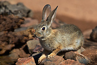 673280040 a wild desert cottontail rabbit sylvilagus audubonii sits near a small waterhole in the grasslands surrounding green valley arizona