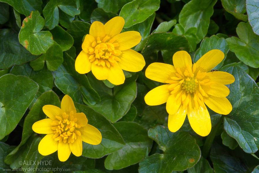 Lesser Celandine (Ranunculus ficaria). Peak District National Park, Derbyshire, UK. April.