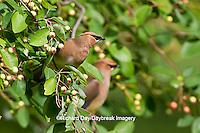 01415-02718 Cedar Waxwings (Bombycilla cedrorum) eating berries in Serviceberry Bush (Amelanchier canadensis), Marion Co., IL